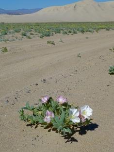 primrose and dunes